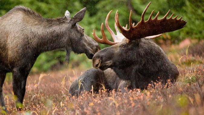 Moose-Header-101615